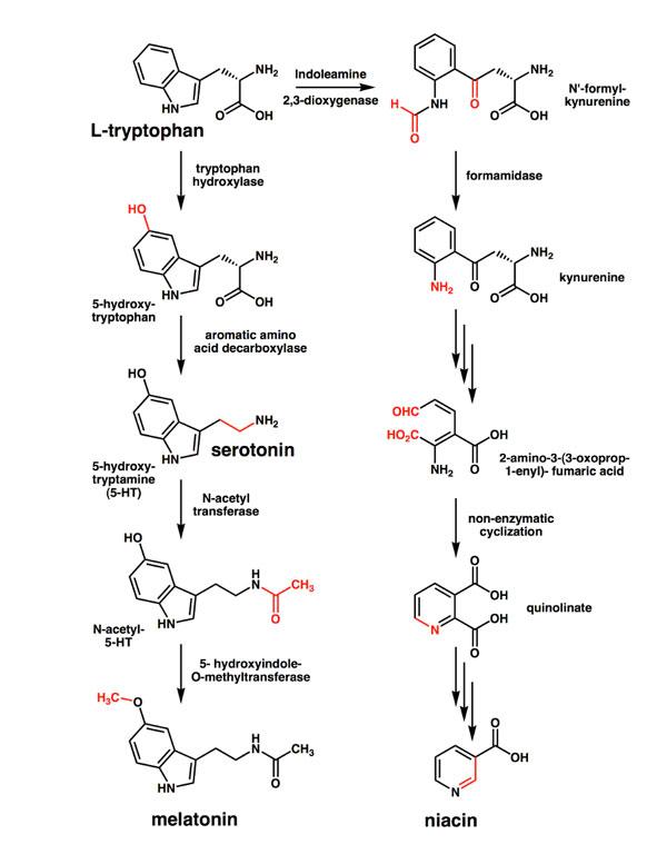hvor dannes serotonin